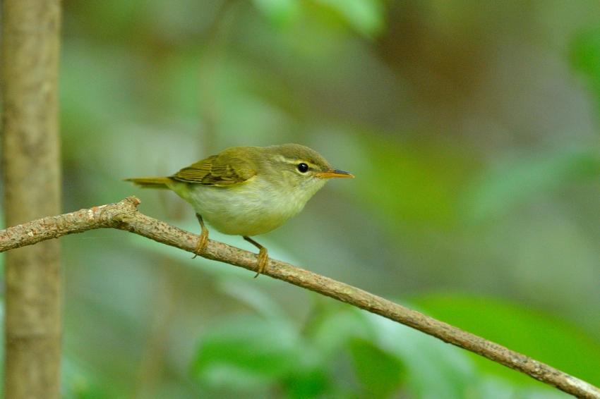 イイジマムシクイ(Ijima\'s Leaf Warbler)〜2013.06_b0148352_22232435.jpg
