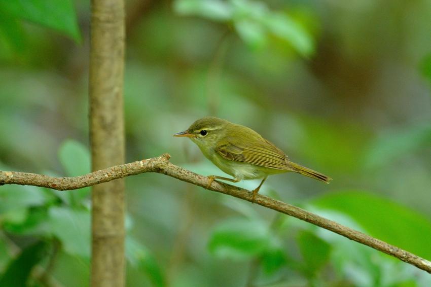 イイジマムシクイ(Ijima\'s Leaf Warbler)〜2013.06_b0148352_22241226.jpg