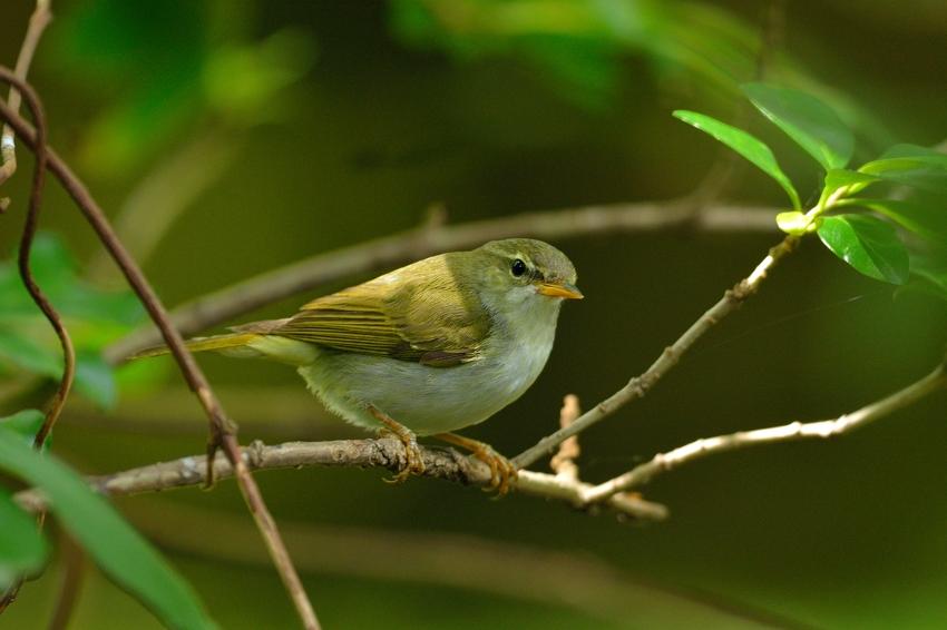 イイジマムシクイ(Ijima\'s Leaf Warbler)〜2013.06_b0148352_2224213.jpg