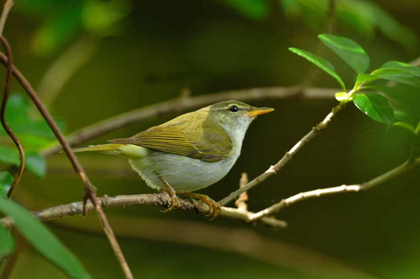 イイジマムシクイ(Ijima\'s Leaf Warbler)〜2013.06_b0148352_22251312.jpg