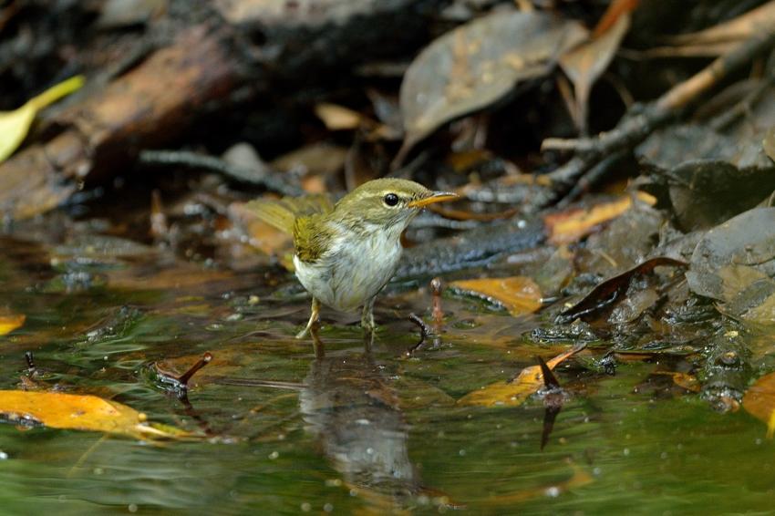 イイジマムシクイ(Ijima\'s Leaf Warbler)〜2013.06_b0148352_22253514.jpg