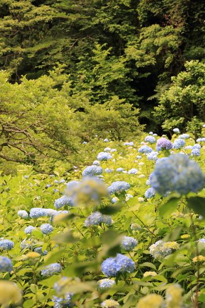 北鎌倉の紫陽花_b0275998_1131847.jpg