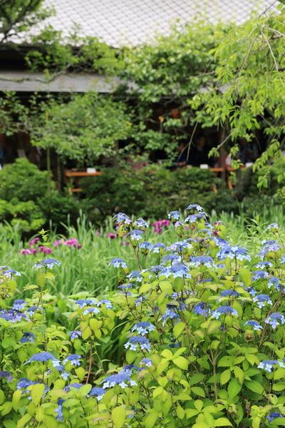 北鎌倉の紫陽花_b0275998_1144353.jpg