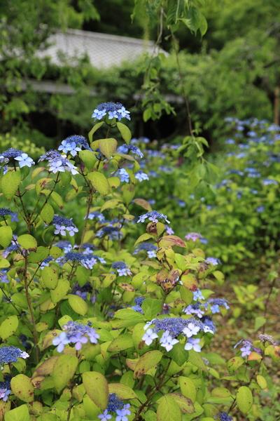 北鎌倉の紫陽花_b0275998_1151240.jpg