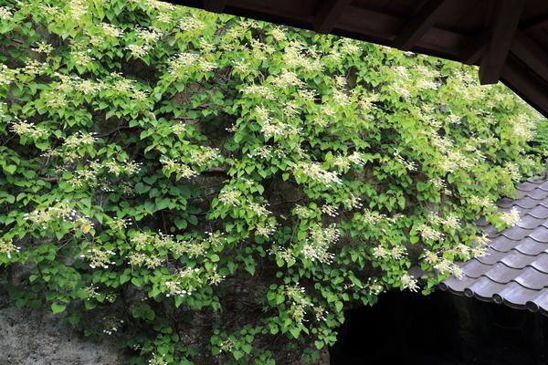 北鎌倉の紫陽花_b0275998_1153870.jpg