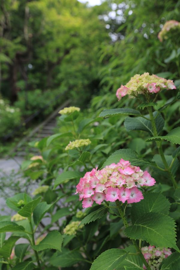 北鎌倉の紫陽花_b0275998_1161282.jpg