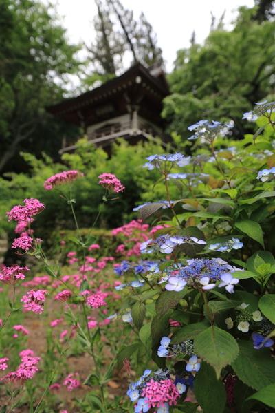 北鎌倉の紫陽花_b0275998_1173664.jpg