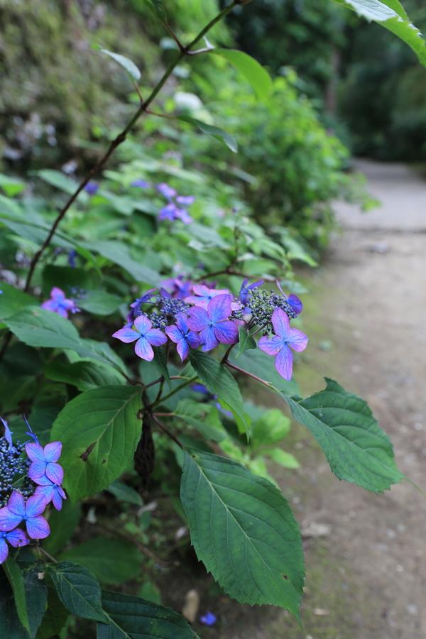 北鎌倉の紫陽花_b0275998_1182739.jpg