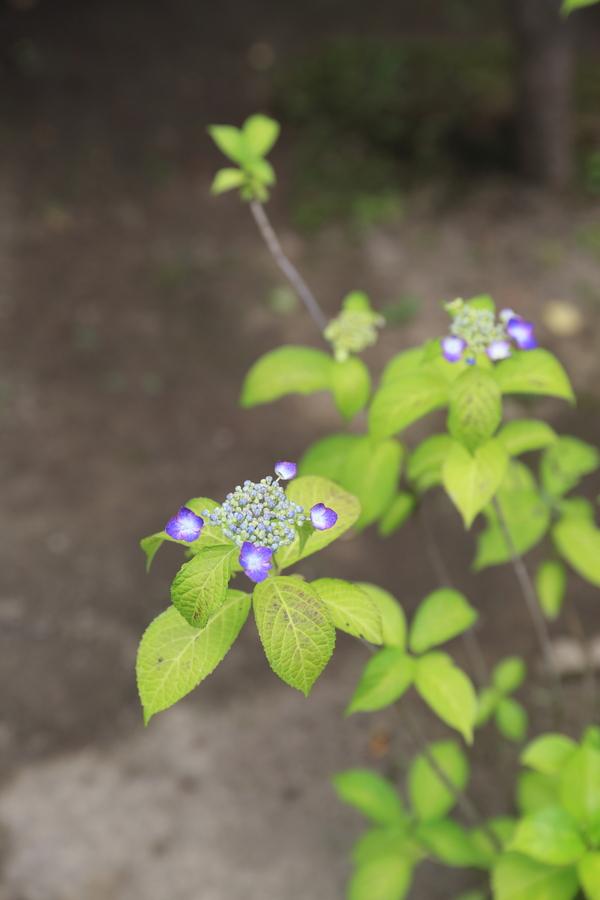 北鎌倉の紫陽花_b0275998_1374328.jpg