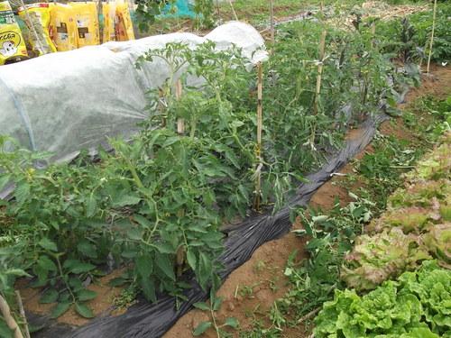 トマトの雨避け....骨組みが出来ました。_b0137932_22533631.jpg