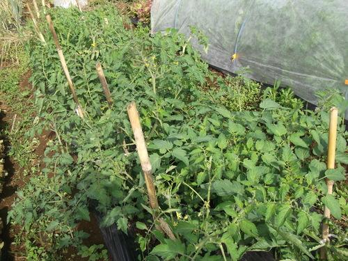 トマトの雨避け....骨組みが出来ました。_b0137932_22553022.jpg