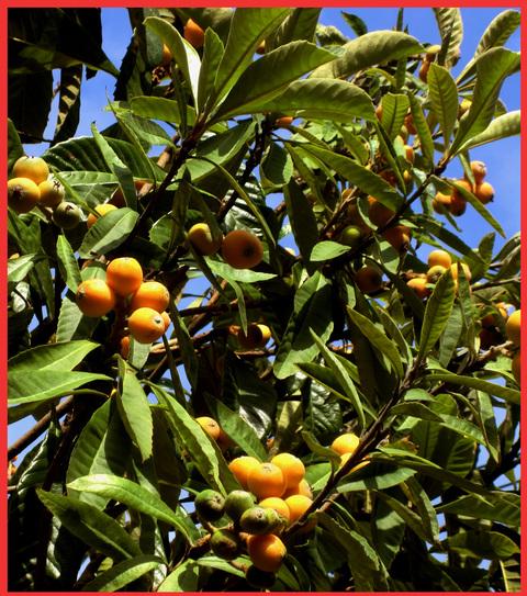 今年もビワは大豊作。「飾ってよし、食べてよし」の贈り物。_e0236072_20125140.jpg