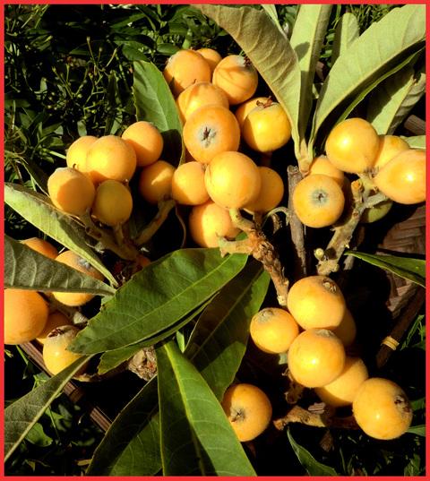 今年もビワは大豊作。「飾ってよし、食べてよし」の贈り物。_e0236072_2031381.jpg