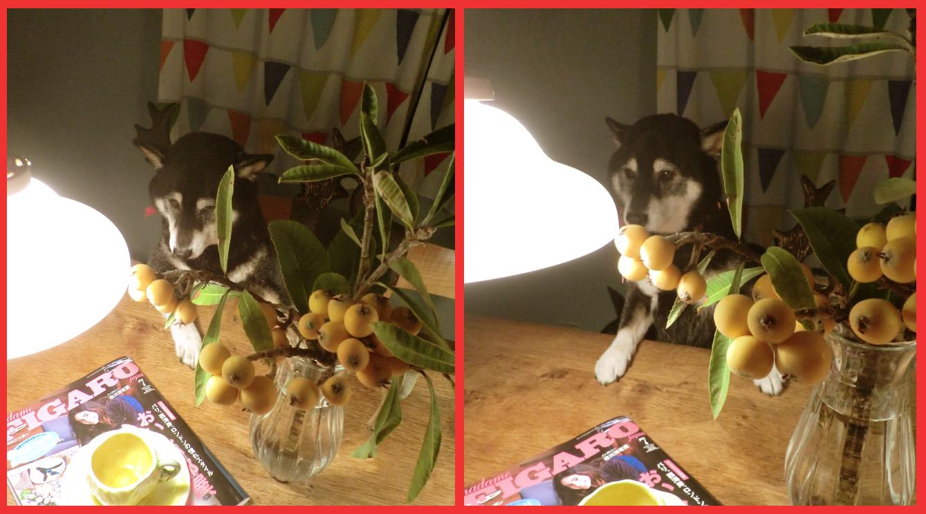 今年もビワは大豊作。「飾ってよし、食べてよし」の贈り物。_e0236072_2335782.jpg