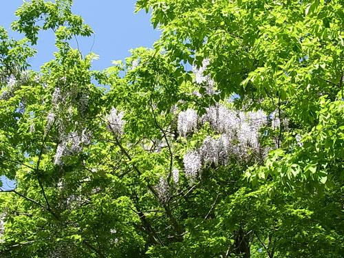 フジの花の季節です。_f0236291_8425552.jpg