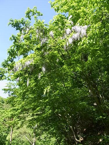 フジの花の季節です。_f0236291_8432160.jpg