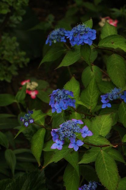 初夏 庭の花だより_d0150720_774351.jpg