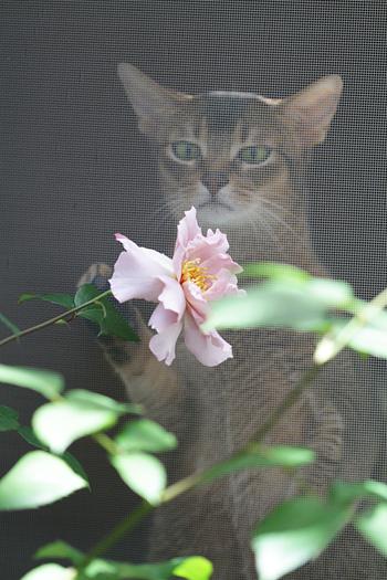 [猫的]クチュール ローズ チリア_e0090124_22444217.jpg