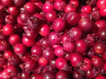 ジュンベリー収穫 '13_d0245357_0315942.jpg