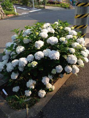 紫陽花の季節になりました。_e0016513_74232.jpg