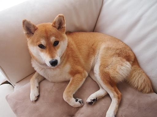 美しい日本犬 : 世界で2番目に可...