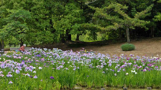 今日は 栗林公園の菖蒲  2013 0605_d0246136_2058286.jpg