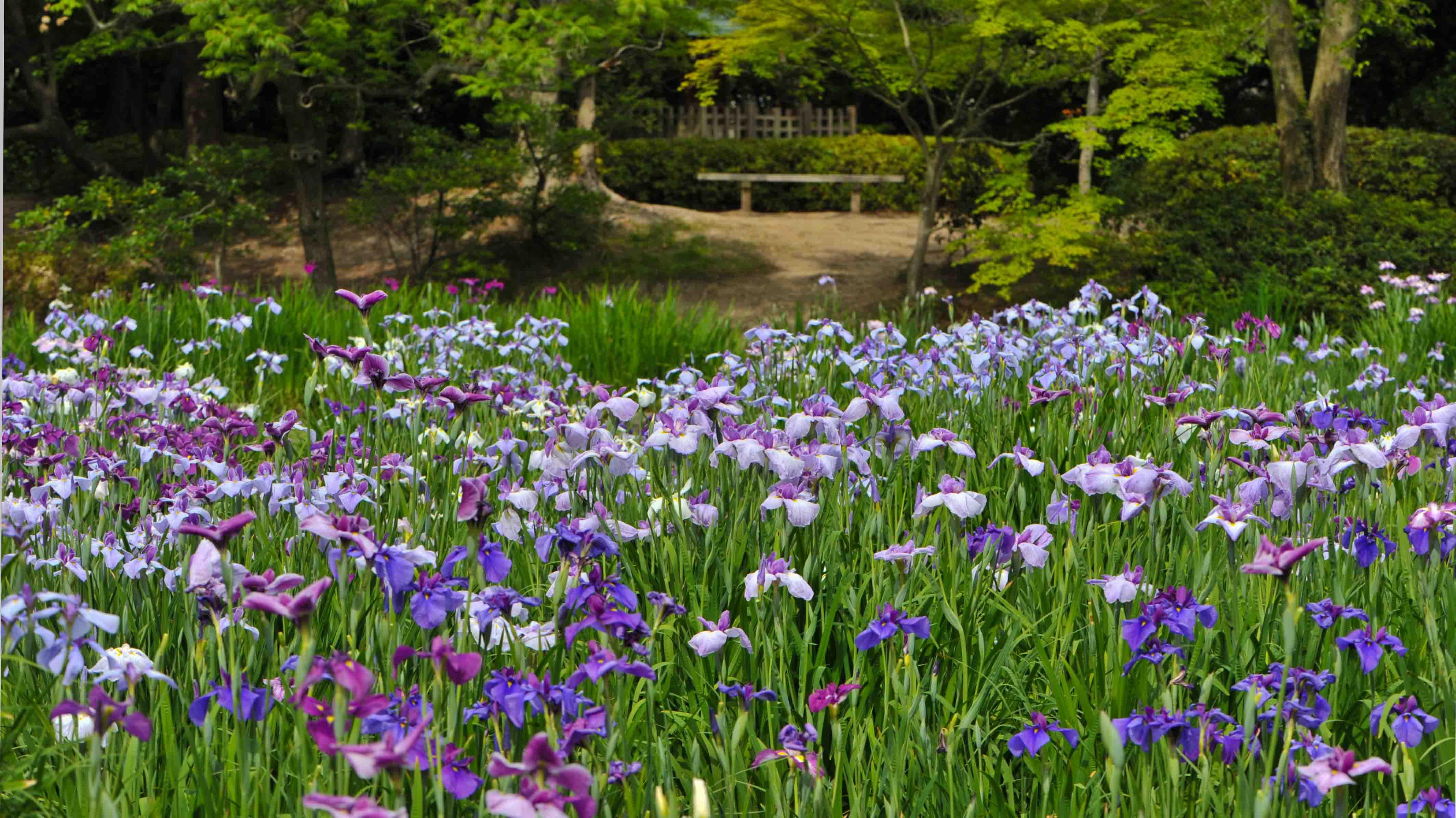 今日は 栗林公園の菖蒲  2013 0605_d0246136_20584187.jpg