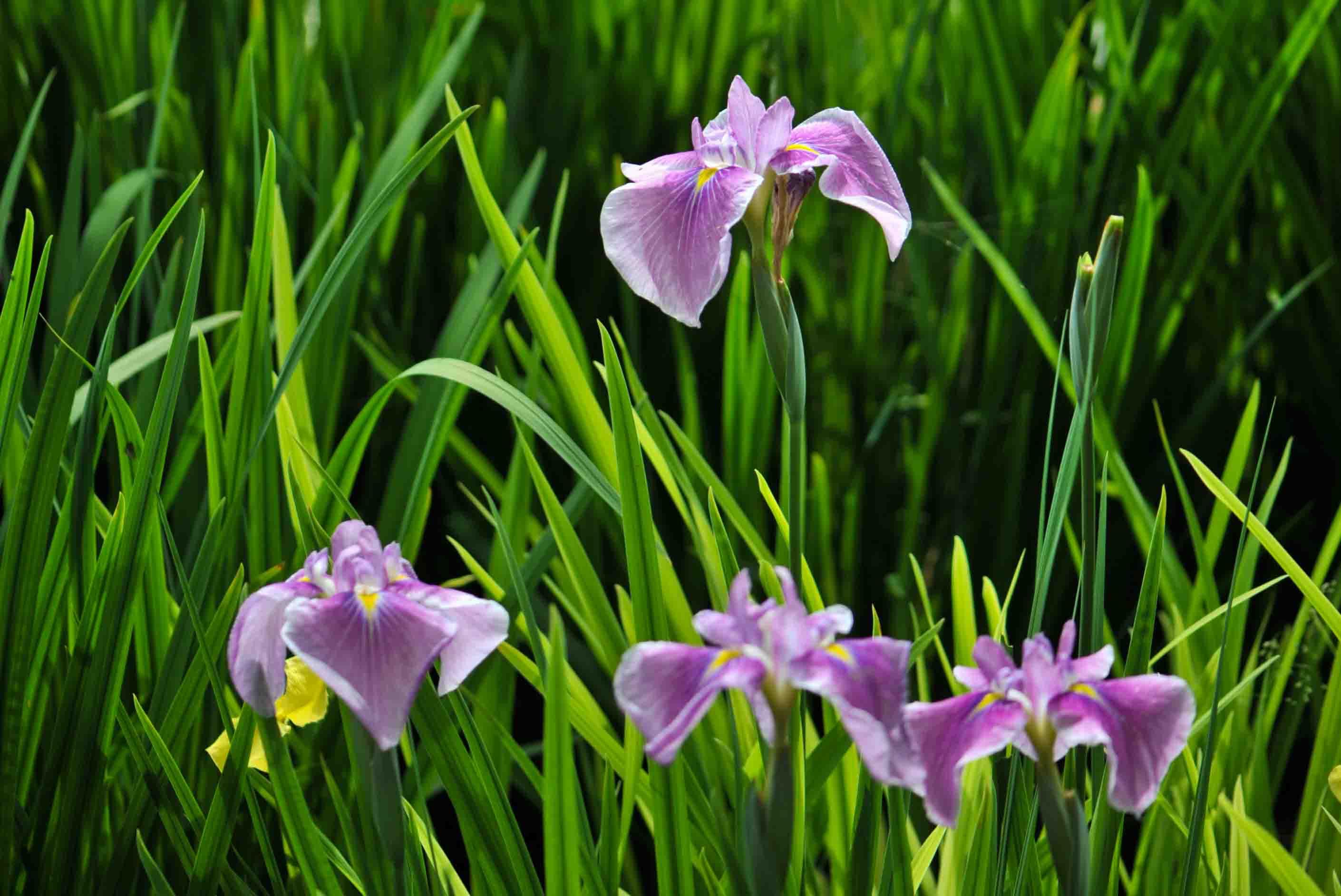 今日は 栗林公園の菖蒲  2013 0605_d0246136_2059424.jpg