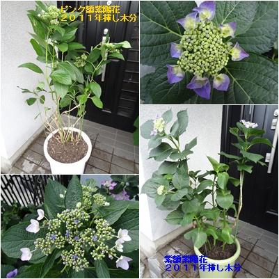 今年の紫陽花_a0084343_12533556.jpg
