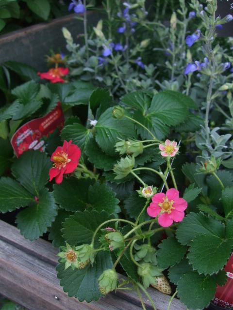 オークリーフ(六月の花たち)_f0049672_13564098.jpg
