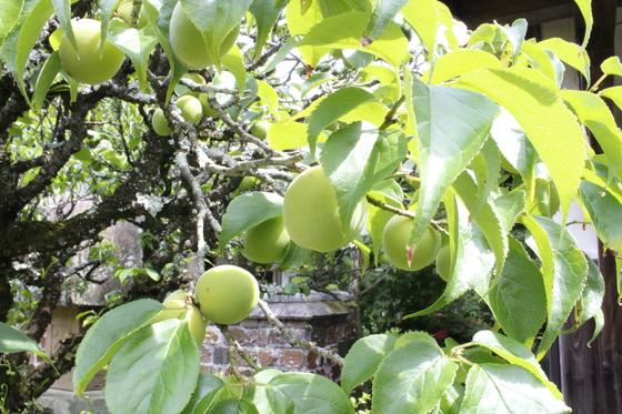 梅がたくさん(^-^)_b0289777_11132463.jpg