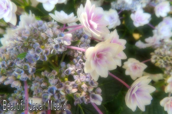 紫陽花ロードに咲く.。・:*:・゚`☆、。_c0067206_10324364.jpg
