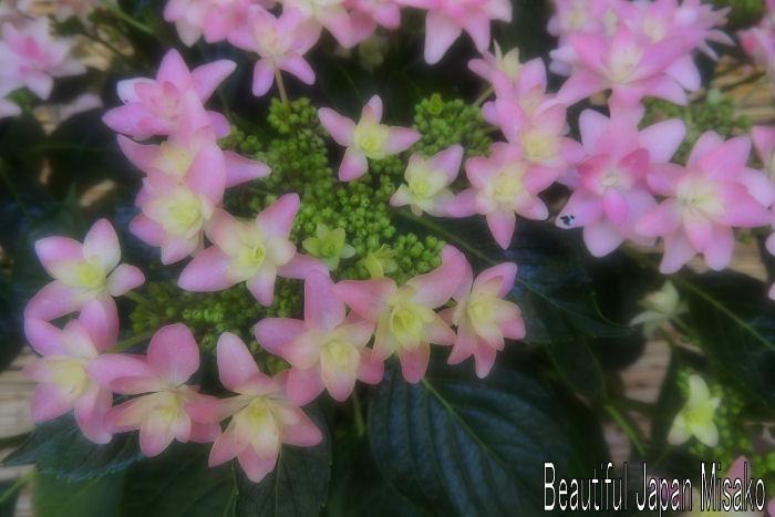 紫陽花ロードに咲く.。・:*:・゚`☆、。_c0067206_10414058.jpg