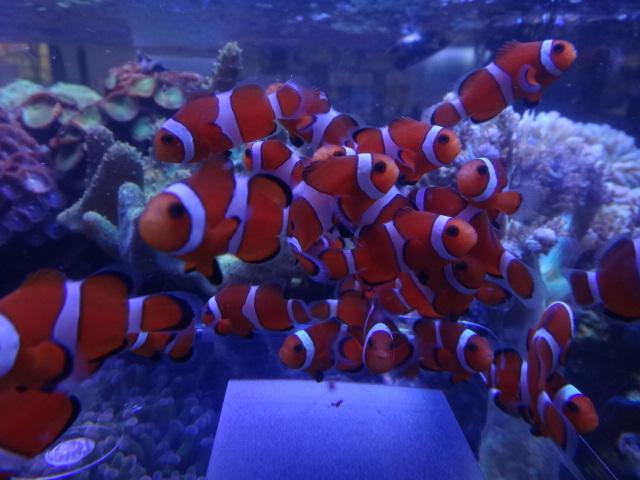 130606 海水魚・熱帯魚・水草・金魚_f0189122_13105651.jpg