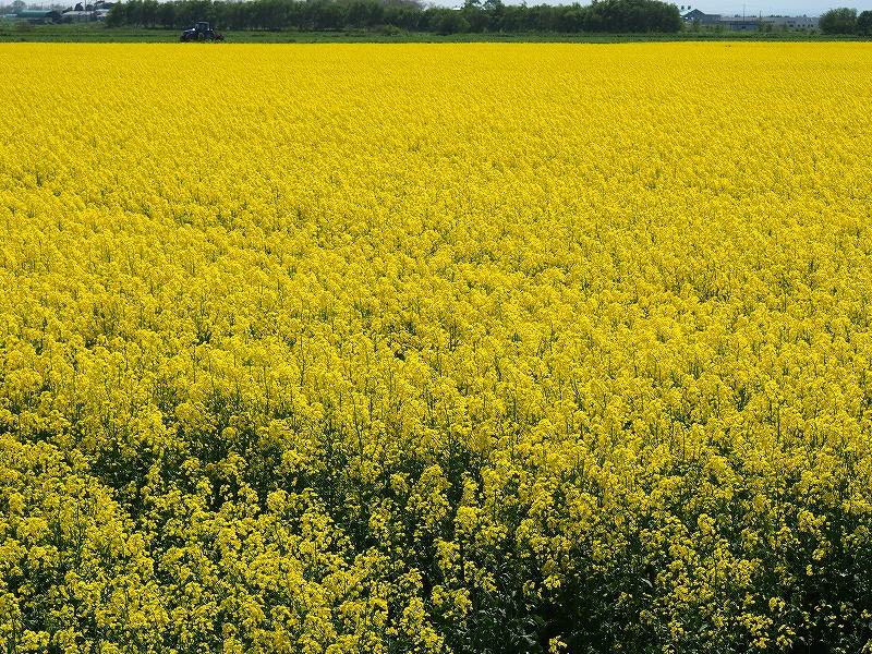 千歳郊外の菜の花畑-オリンパスOM-D-_f0138096_23405456.jpg