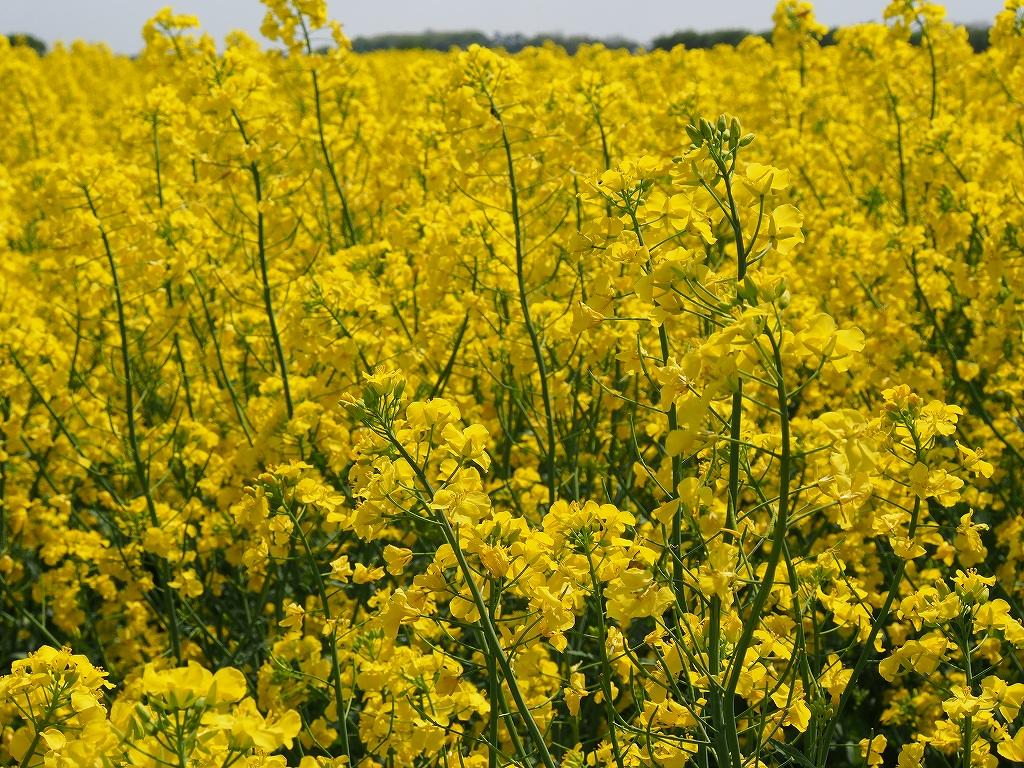 千歳郊外の菜の花畑-オリンパスOM-D-_f0138096_23413142.jpg