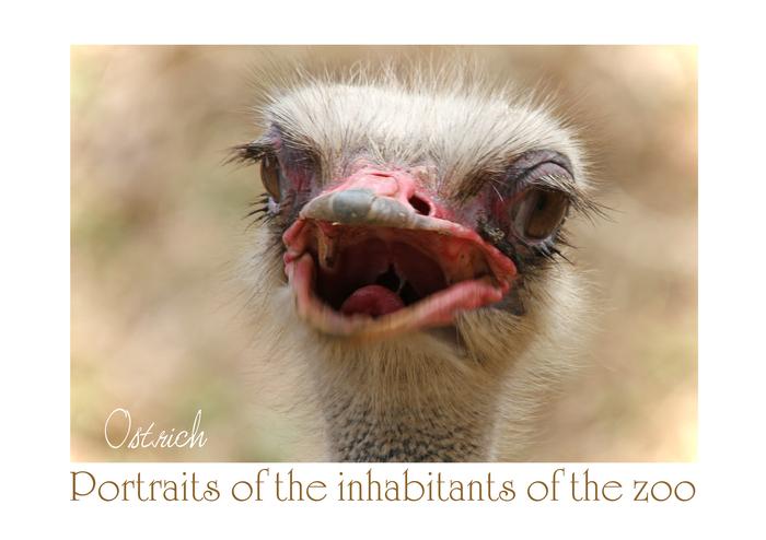 ダチョウ:Ostrich_b0249597_5134725.jpg