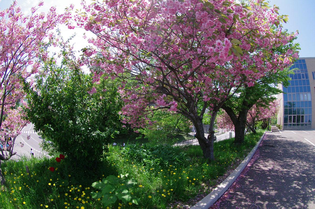 ... あります!桜の見どころin小樽
