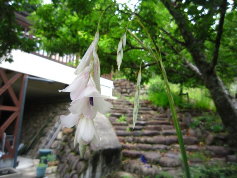 天使の吊り竿 咲く(^.^)/~~~_a0208899_13303417.jpg