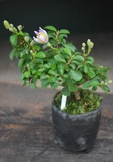 モスハウス・盆栽が入荷しました_d0263815_14443651.jpg