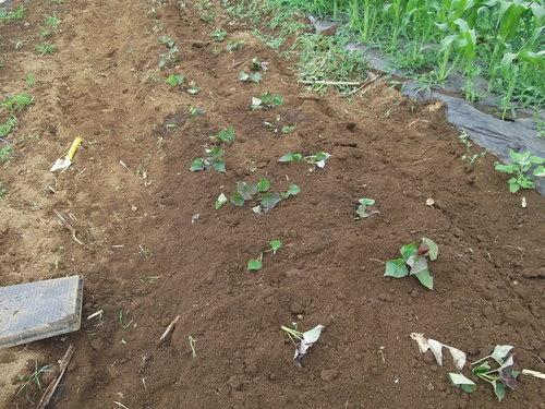 遅れてしまいましたが....安納芋(サツマ芋)を植え付けた!_b0137932_18434521.jpg