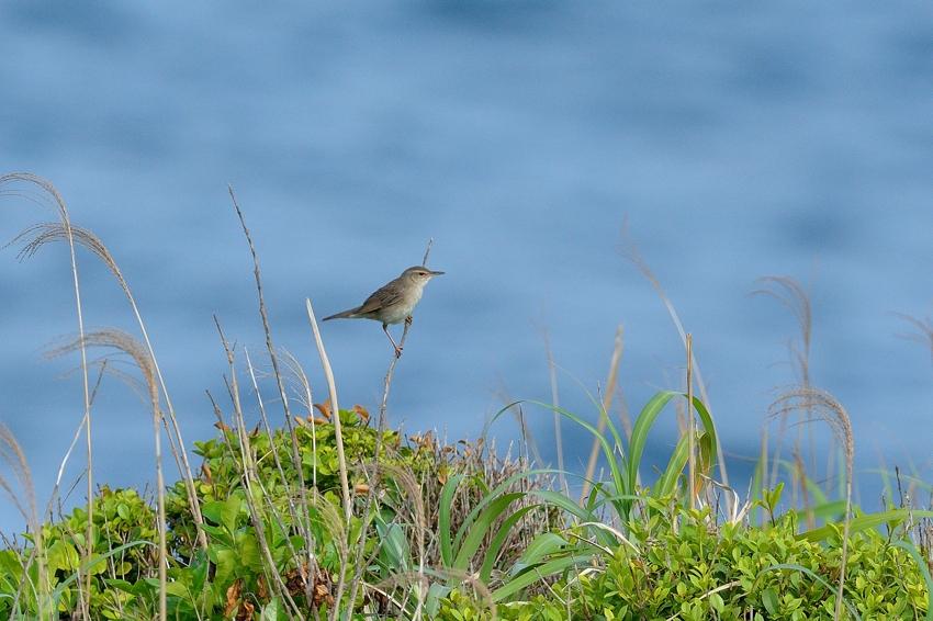 ウチヤマセンニュウ(Styan\'s Grasshopper Warbler)~2013.06_b0148352_22533844.jpg