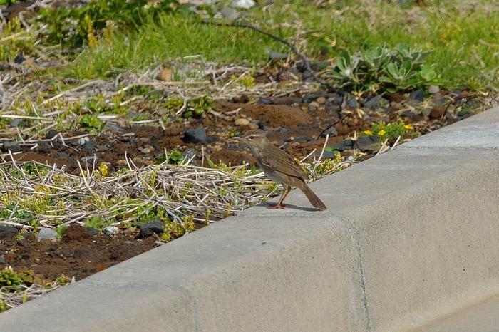 ウチヤマセンニュウ(Styan\'s Grasshopper Warbler)~2013.06_b0148352_2254032.jpg