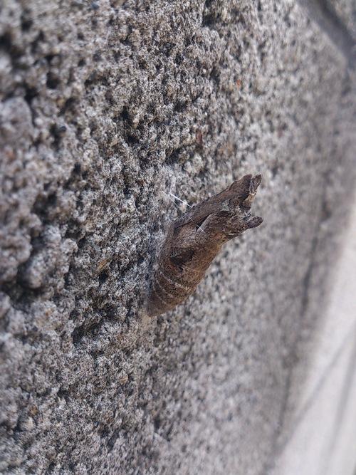 幼虫からサナギへ_e0271858_16441319.jpg