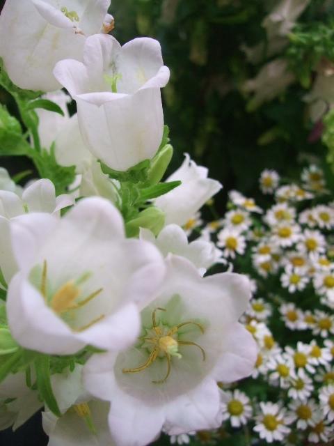 オークリーフ(スモークツリーと紫陽花)_f0049672_16204846.jpg