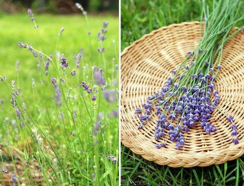 ラベンダーの収穫と花壇の花たち(6月上旬)_b0253205_732291.jpg