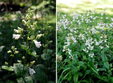 ラベンダーの収穫と花壇の花たち(6月上旬)_b0253205_751144.jpg