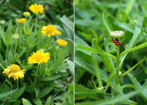 ラベンダーの収穫と花壇の花たち(6月上旬)_b0253205_761870.jpg