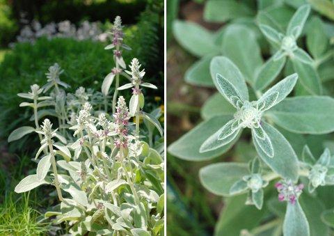 ラベンダーの収穫と花壇の花たち(6月上旬)_b0253205_771561.jpg