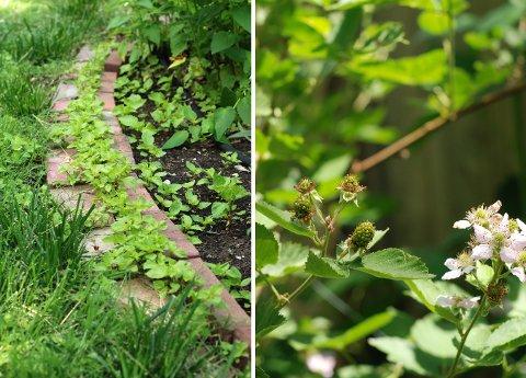 ラベンダーの収穫と花壇の花たち(6月上旬)_b0253205_79276.jpg